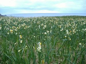 daffodil-in-echizencoastline