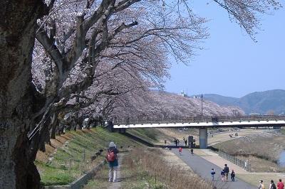 cherryblossomsasuwagawa400