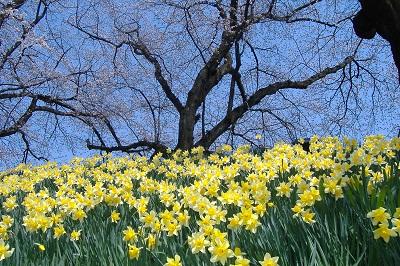 daffodilsandcherry400